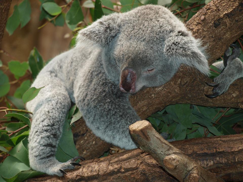 koala-bear-9960_960_720