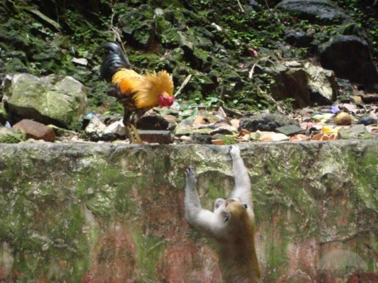 rooster-vs-monkey-smackdown-kuala-lumpur